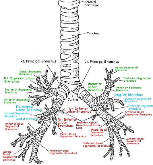 physiology of trees Physiology of trees [paul j kozlowski, theodore t kramer] on amazoncom free shipping on qualifying offers.